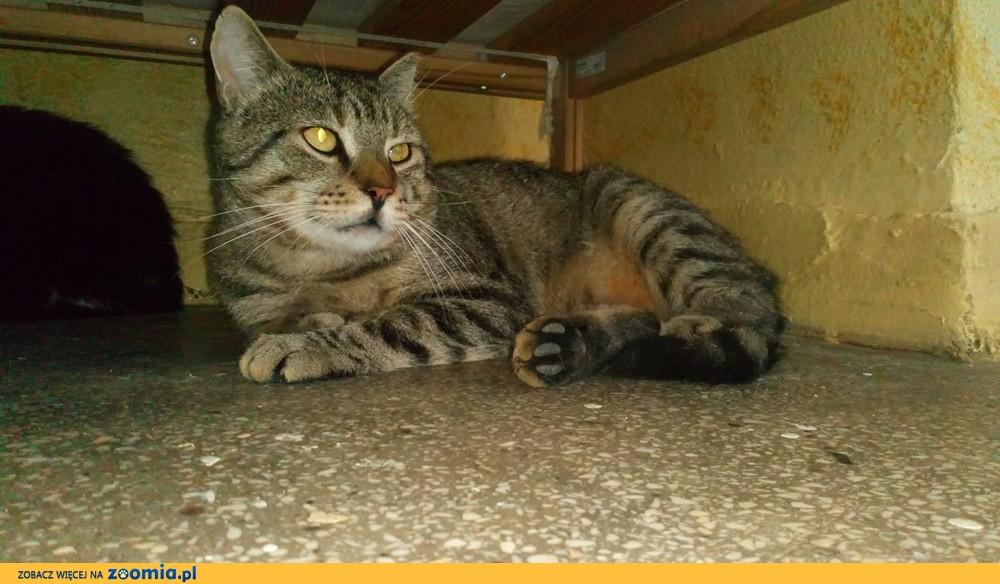 Wykastrowany kocur Rufi szuka domu