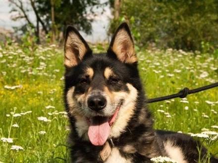 Mądry  zrównoważony Szogun  przepiękny pies do pokochania