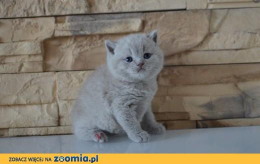 Kocięta Brytyjskie Niebieskie Z Rodowodem Fpl Dolnośląskie Wrocław
