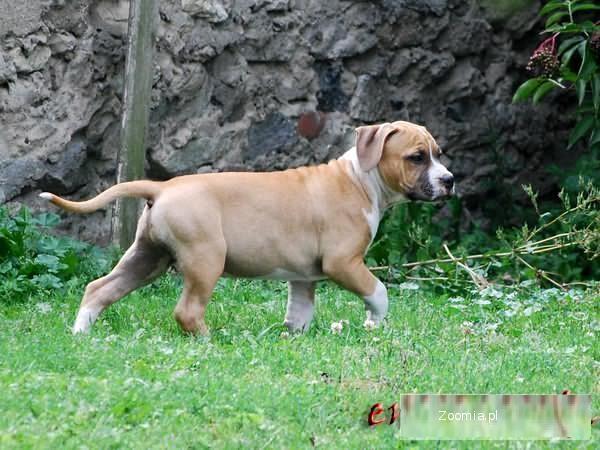 Amstaff, American Staffordshire Terrier, Amstaf piesek