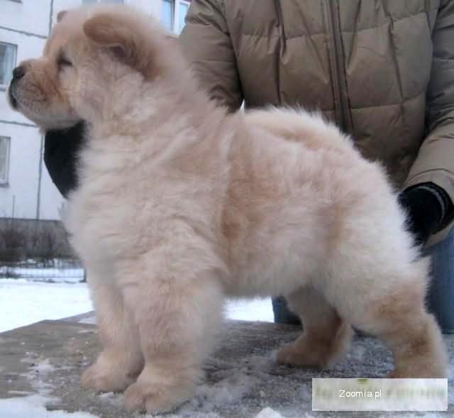 Puppy Chow kremowy kolorze