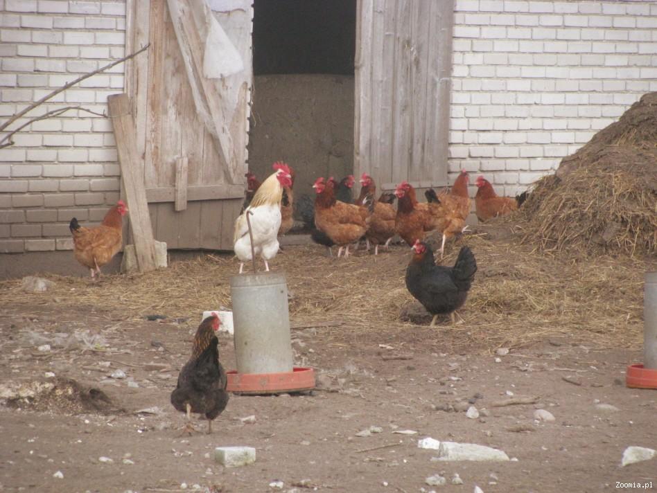 Sprzedam kury Leghorny oraz kurę roczną 100% w piórach