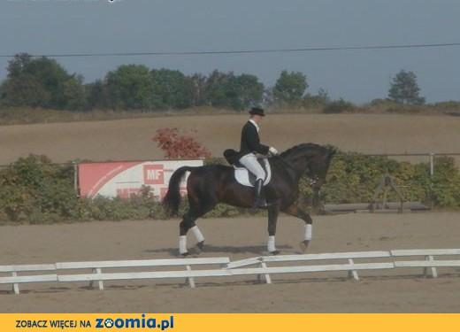 Koń do ujeżdżenia,  podlaskie Dąbrowa Białostocka
