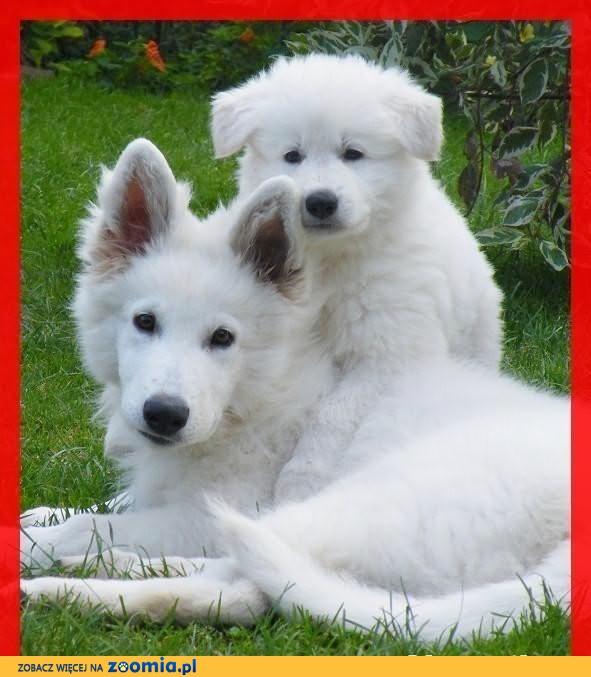 Białe Owczarki Szwajcarskie szczeniaki rodowodowe długowłose 2015 rok
