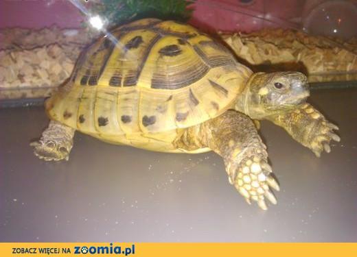 6-letni żółw grecki,  lubelskie Lublin