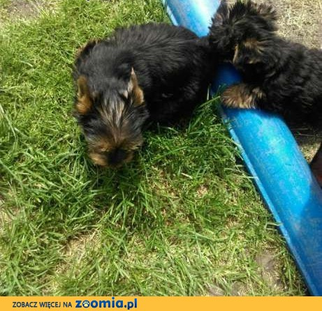 mini chłopaki yorkshire terrier rodowód ZHPR UCI,  śląskie Będzin