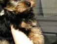 'mini chłopaki yorkshire terrier rodowód ZHPR UCI,  śląskie Będzin