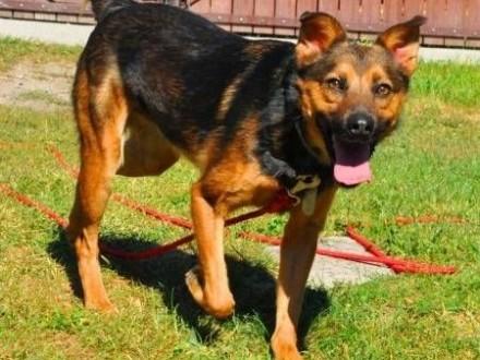 MISIEK - fajny  3 letni psiak uratowany z łańcucha do adopcji   mazowieckie Warszawa