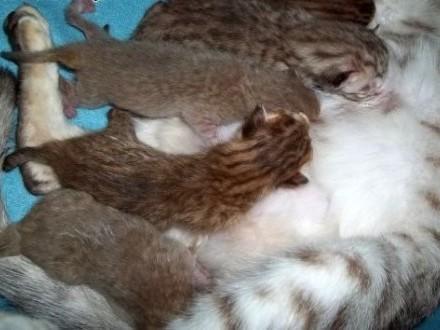Rodowodowe kocięta rasy Ocicat  lilac  silver  chocolate   warmińsko-mazurskie Giżycko