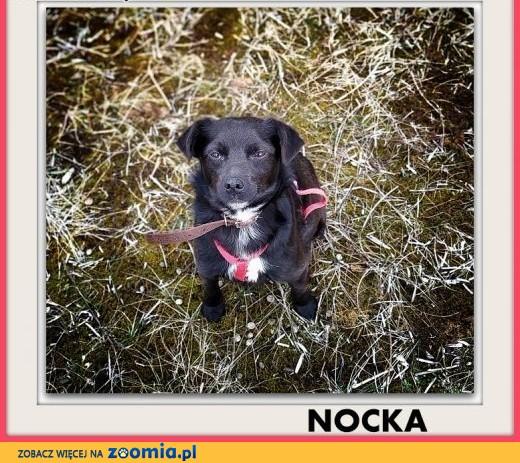 10kg,mała,grzeczna,łagodna,tulaśna,sterylizowana suczka NOCKA.ADOPCJA,  małopolskie Kraków