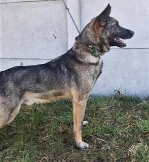 SZARIK - cudowny psiak w typie owczarka  już 3 lata czeka na dom   mazowieckie Warszawa