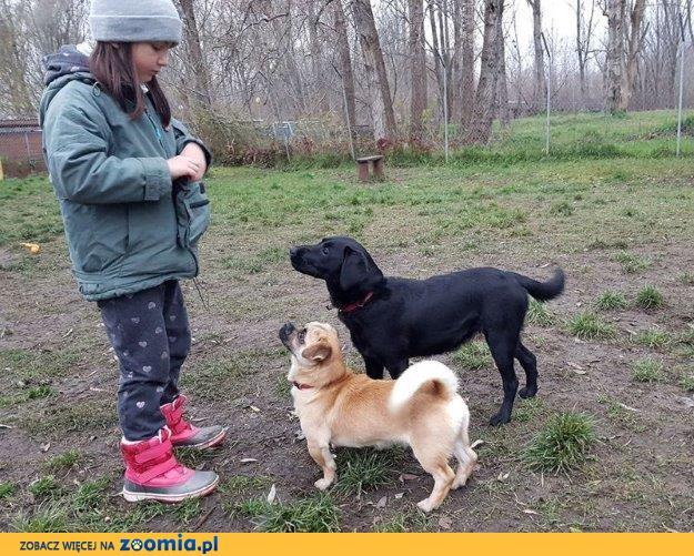 Jagoda - młodziutka labradorka do adopcji