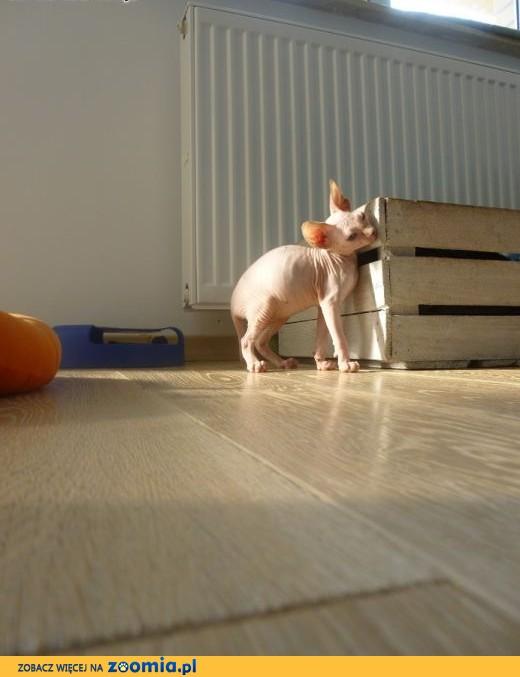 Bardzo dobry Kot Sfinks - ogłoszenia z hodowli. Koty Sfinks / Zoomia.pl pl 1 KF11