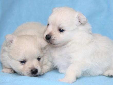 Pomeranian - szpic miniaturowy - szczeniaki z rodowodem