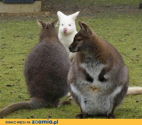 Kangury - Wallabia Bennetta