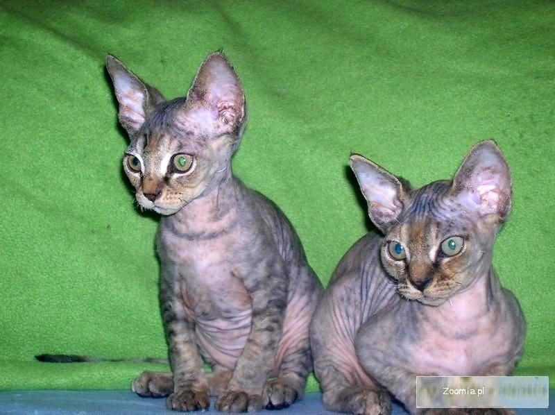 Urocze szuklretowe koteczki