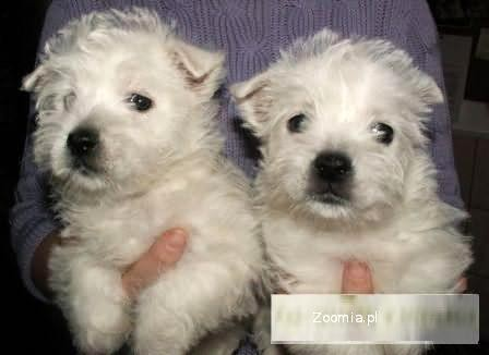 ŚLICZNA SUNIA WESTIE WEST HIGHLAND WHITE TERRIER 1400