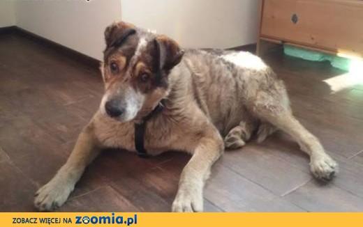 Niewidomy duży starszy pies Misio Bibi szuka domu,  małopolskie Kraków