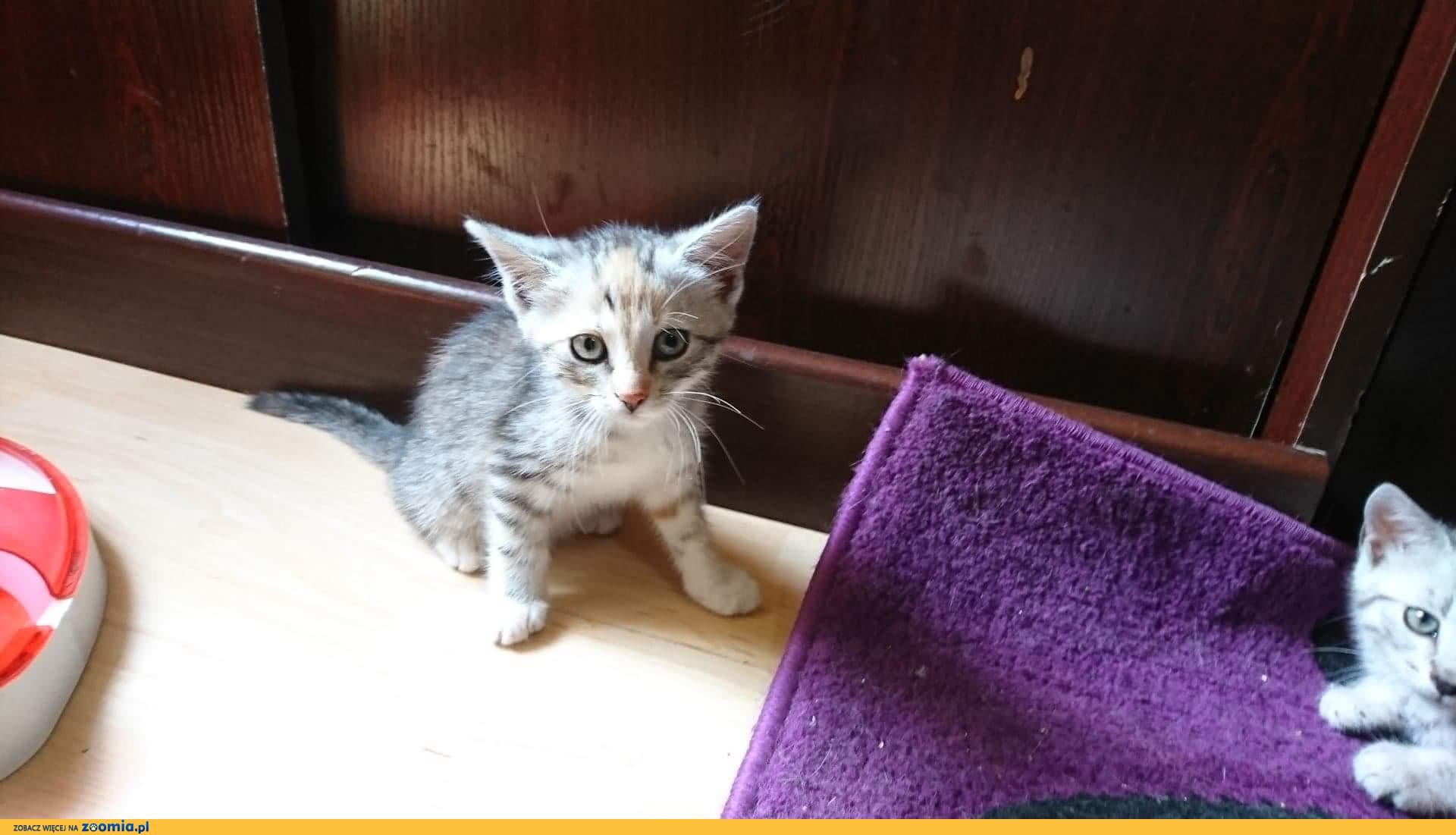Mała kotka Niezapominajka szuka domu
