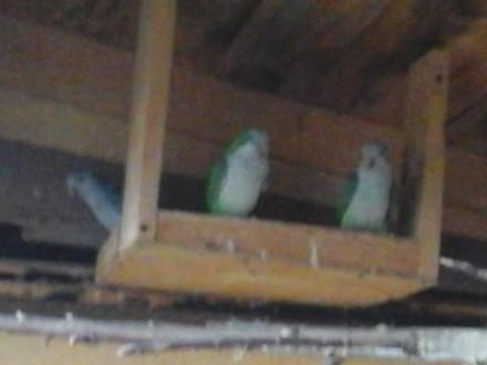 Sprzedam papugi  mnichy  nimfy  świergoty