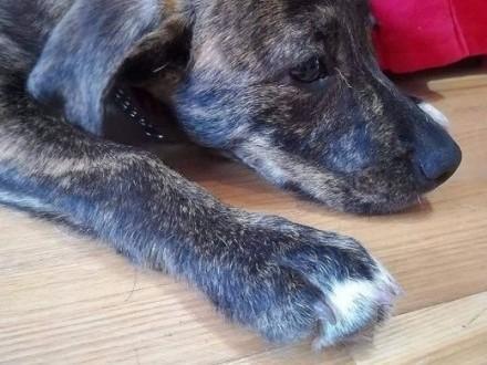 psie dziecko SZYSZKA w typie TTB do adopcji    mazowieckie Warszawa