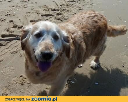 Golden Retriever - Kiara do adopcji