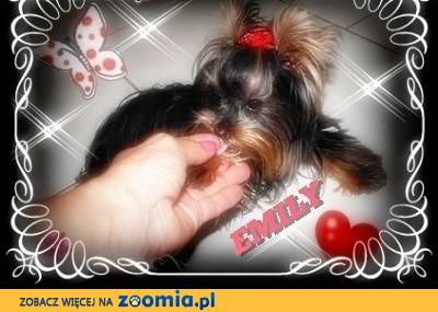 York, Yorkshire Terrier!EKSKLUZYWNE MICRO CUDEŃKA dla VIP-ów-XXXS! KRAKÓW,  mazowieckie Warszawa