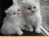 Piękne kocięta perskie