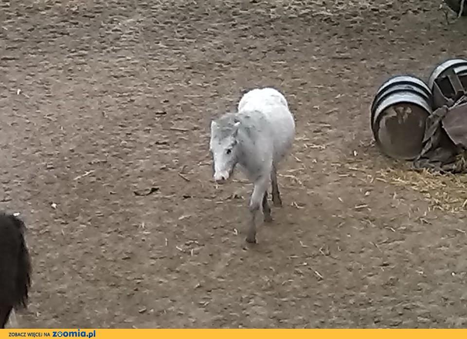 kucyk ogierek
