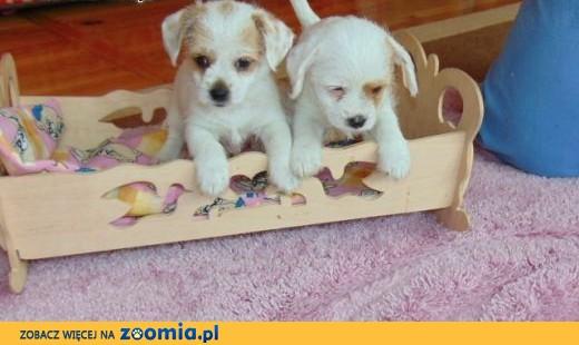 Bambi i Tito cudne białe micro szkrabki czekają na nowy domek!!!,  mazowieckie Warszawa