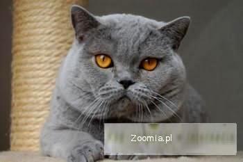 Kot Brytyjski Ogłoszenia Z Hodowli Koty Brytyjskie Zoomiapl Pl 22