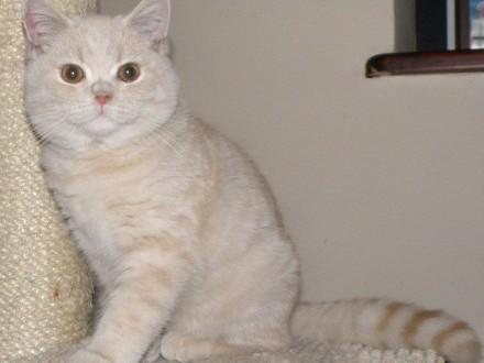 Kocurek i kotka Brytyjski Krótkowłosy