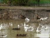 Kaczka krajowa - staropolska - ptaki, jaja