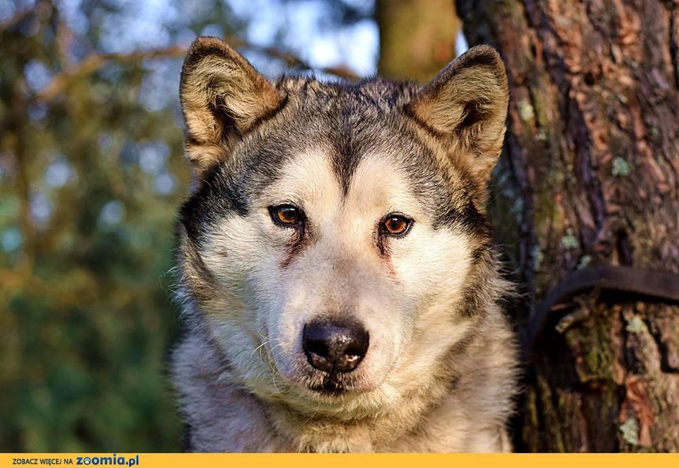 Kochana, wesoła, spyciulka alaskan malamute ADOPCJA