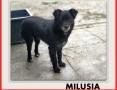 MILUSIA,1,5roku,młoda,mała,6kg,łagodna,delikatna,sterylizowana suczka MILUSIA.,  mazowieckie Warszawa