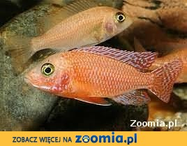 Rybki pyszczaki Aulonocara Fire Fish