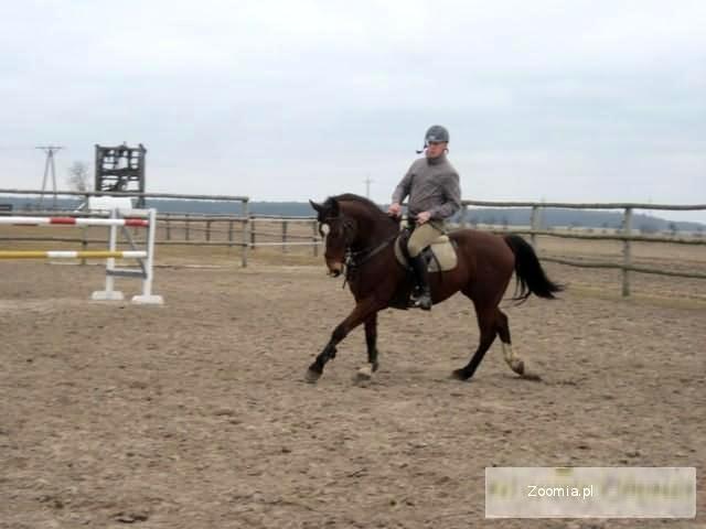 Koń skokowy Super koń do skoków