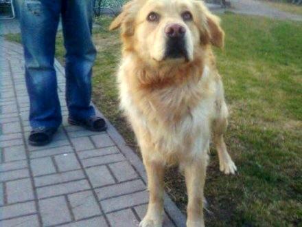 MISIO - młody  biszkoptowy goldenek z Łagowa szuka domu!