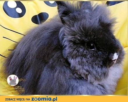 Karzełek Teddy króliczki zapowiedź 2019r_