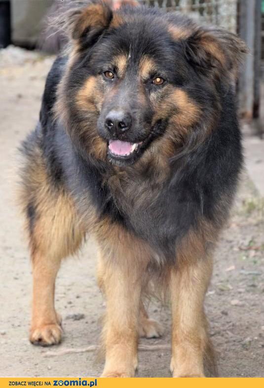 IVAN duży puchaty pies w typie owczarka,  Kundelki cała Polska