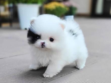 Biały Pomeranian Szczeniak