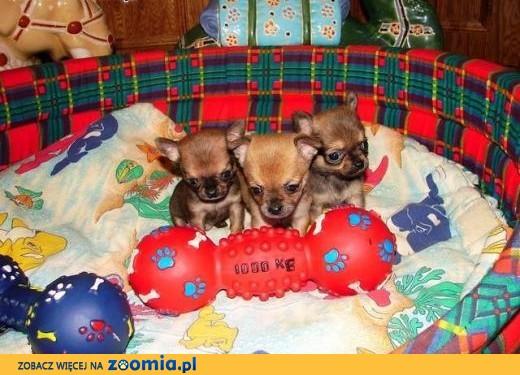 Chihuahua szczenięta,  małopolskie Sucha Beskidzka