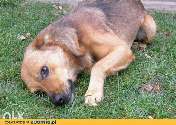 Kawaler cudowny pies szukający domku