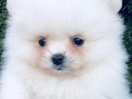 Pomeranian- suczka