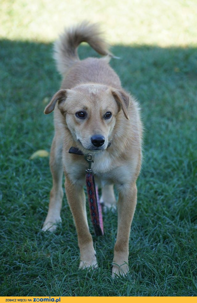 Nieduży rudy Foksik, przyjazny psiak szuka domu