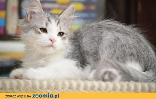 Kocięta syberyjskie z miotu P w Hodowli Nowa Era*PL,  zachodniopomorskie Szczecin