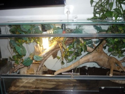 Wąż chinski