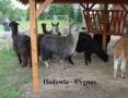 Alpak, alpaki - Hodowla CYGNUS