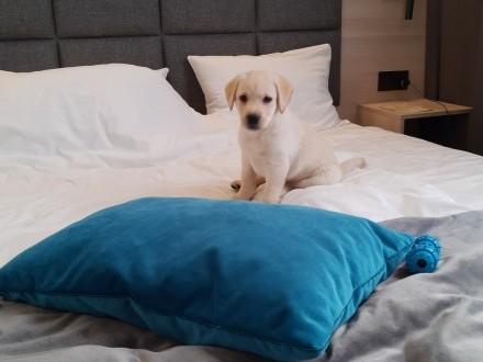 Labrador retriever z rodowodem