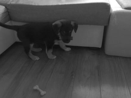 Oddam psa w dobre ręce    mazowieckie Piaseczno
